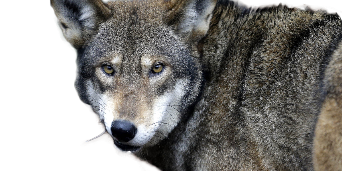 Report: 20,000 square miles of red wolf habitat open for reintroduction of animals