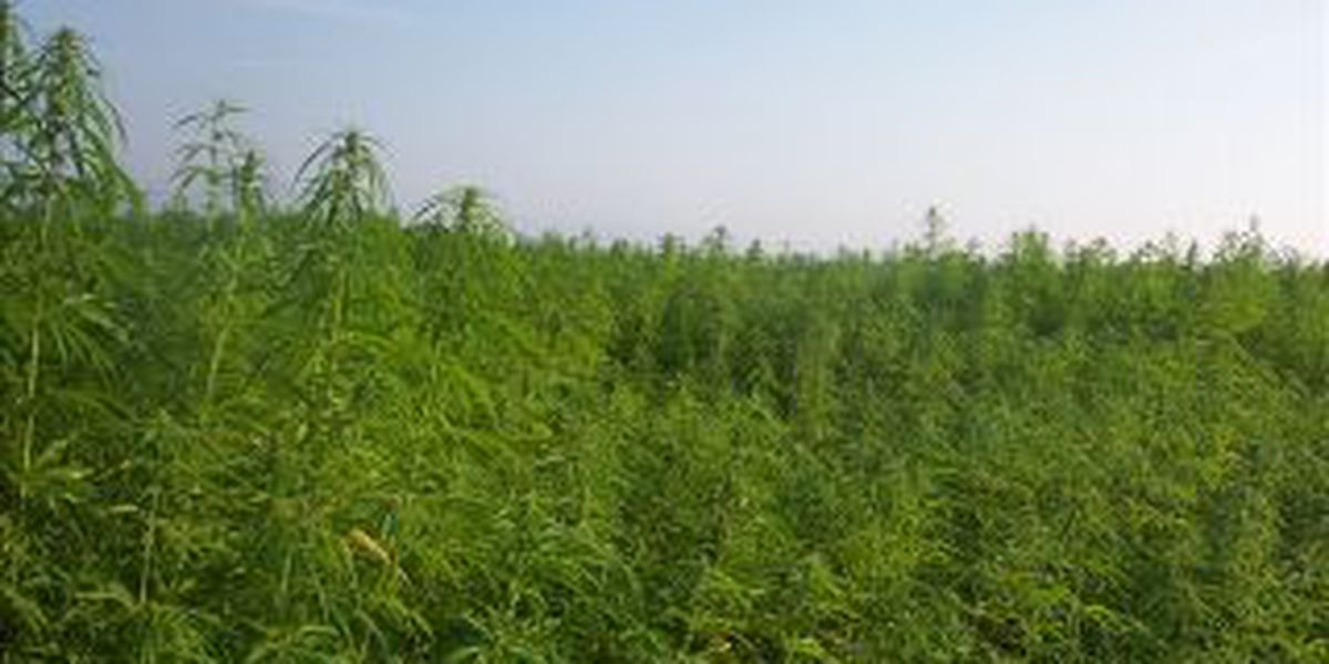 Ky. ag officials upbeat about gaining hemp seeds