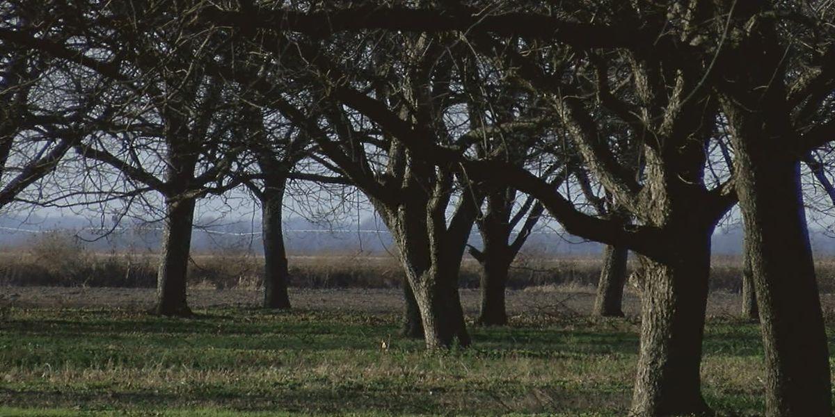 Pecan harvest was the worst he's seen, local grower says