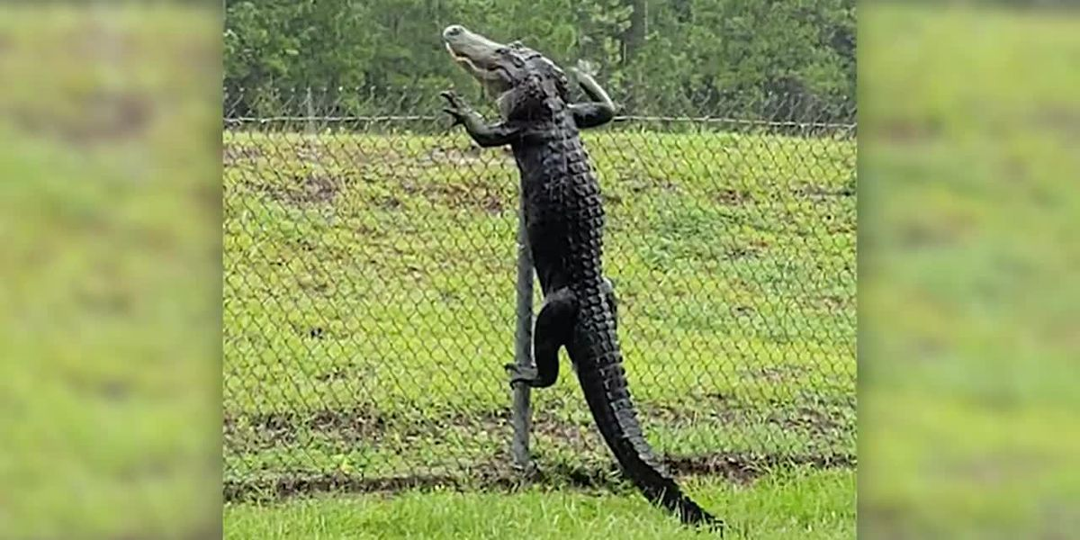 Run! Alligators can climb fences