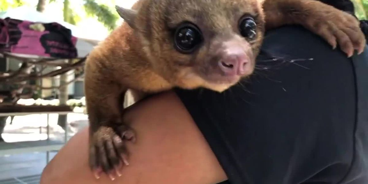 Kinkajou attacks Florida man who fed it watermelon