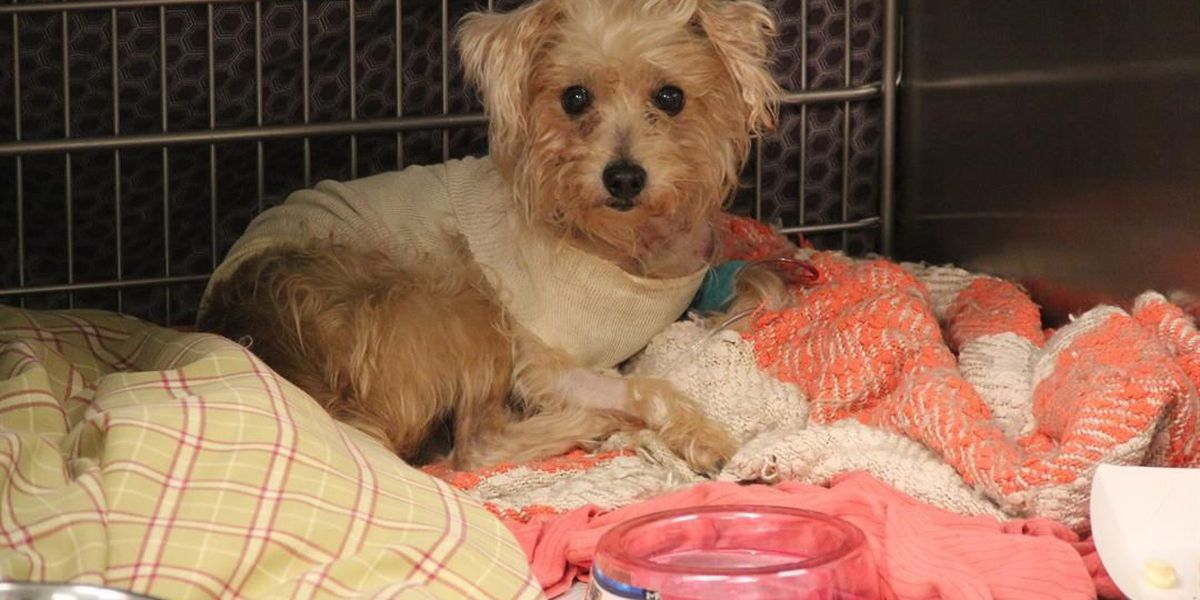 GRAPHIC PHOTOS: Poodle mix saved after being stabbed more than a dozen times