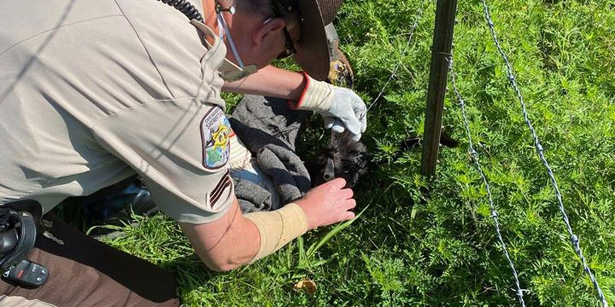 Cape Girardeau County Sheriff deputies save young cat caught in fence