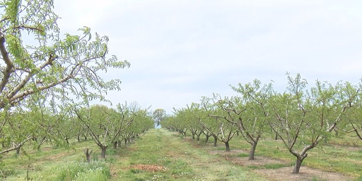 Heartland orchard taking precautions to protect crops