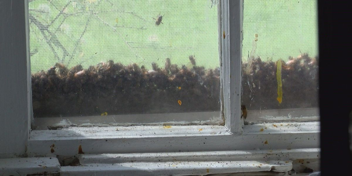 Mayfield, KY woman finds more than 30,000 bees in wall of home