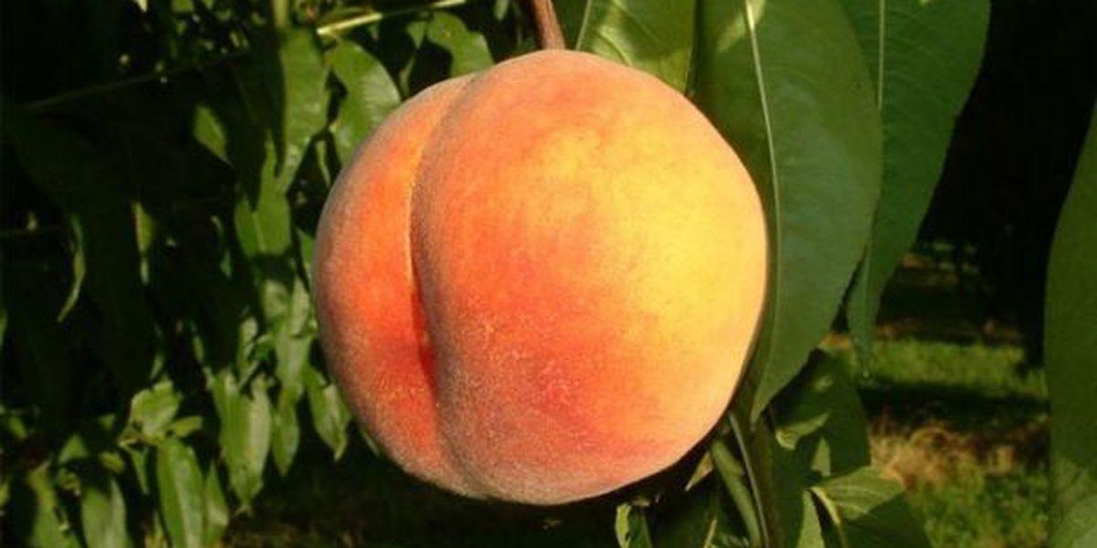 Union County peach growers expecting nice crop