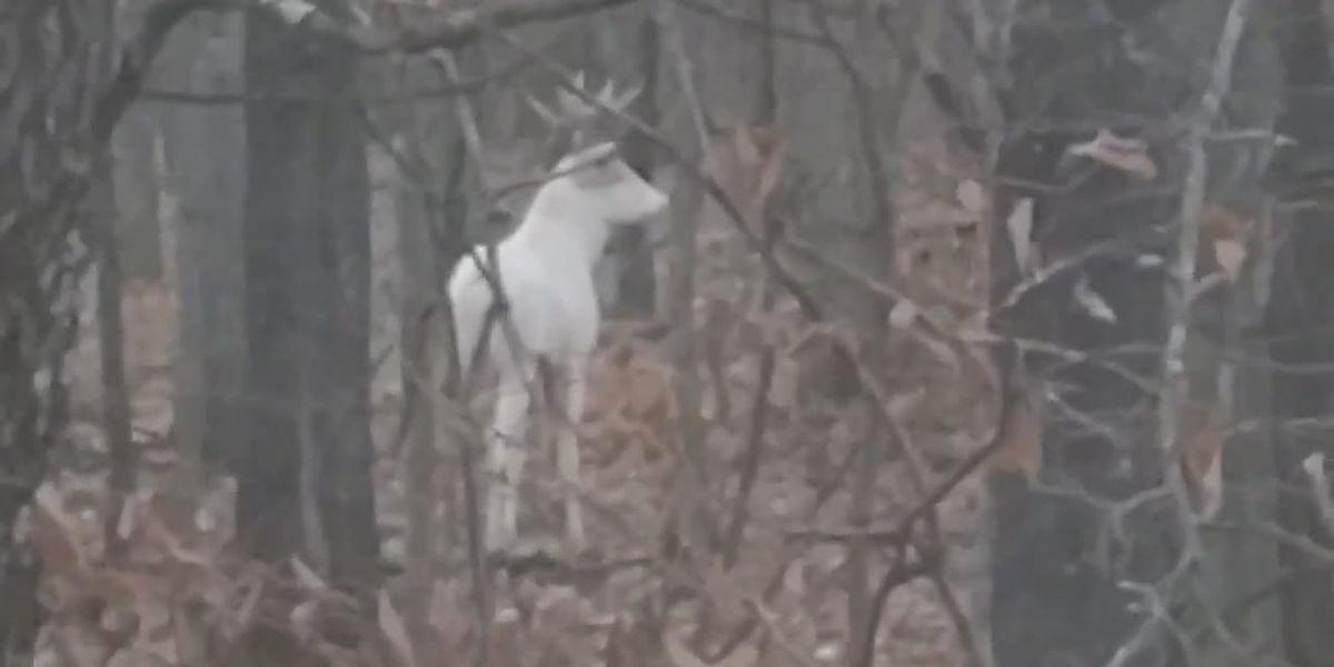 Video: Bowhunter spots albino buck in northern Wisconsin