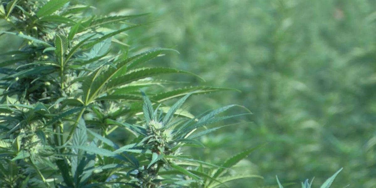 More and more states growing hemp, running into challenges