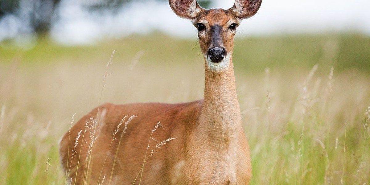 Chronic wasting disease creeps up amid deer season