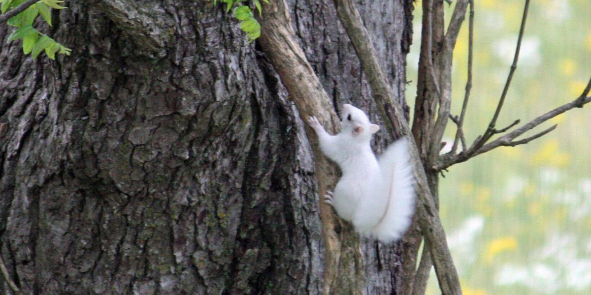 White squirrel spotted outside of Cape Girardeau, MO