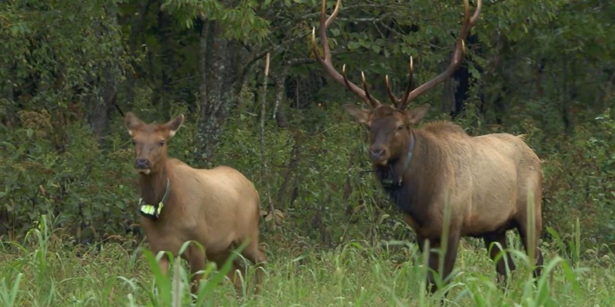 Missourians could start hunting elk in 2020, conservation department seeks input