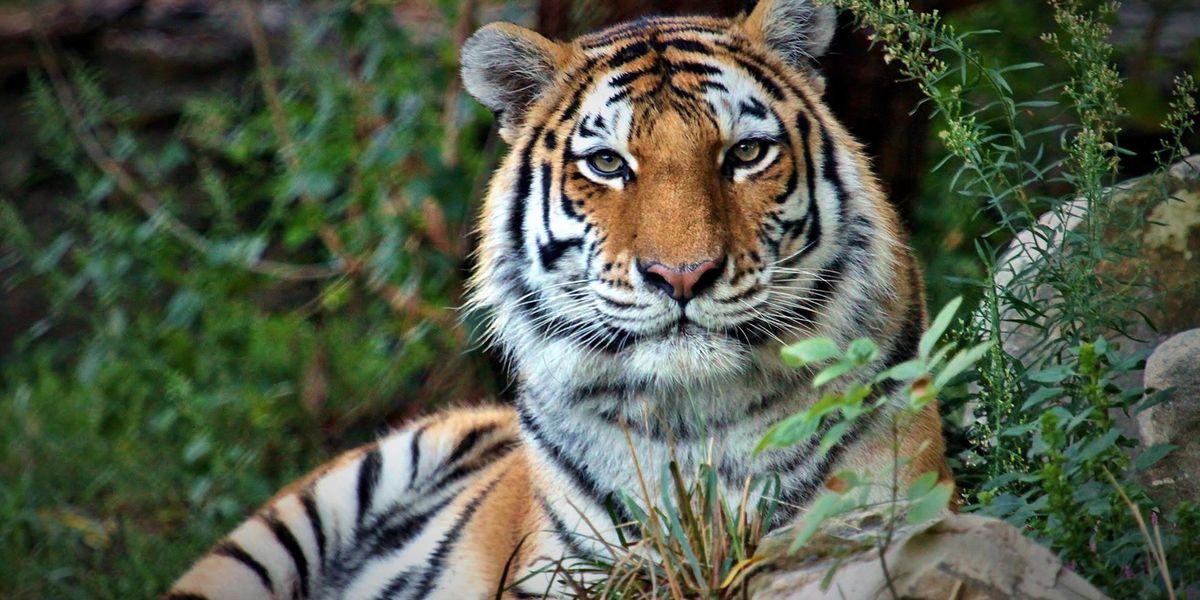 Tiger at Saint Louis Zoo passes away at 19 years old