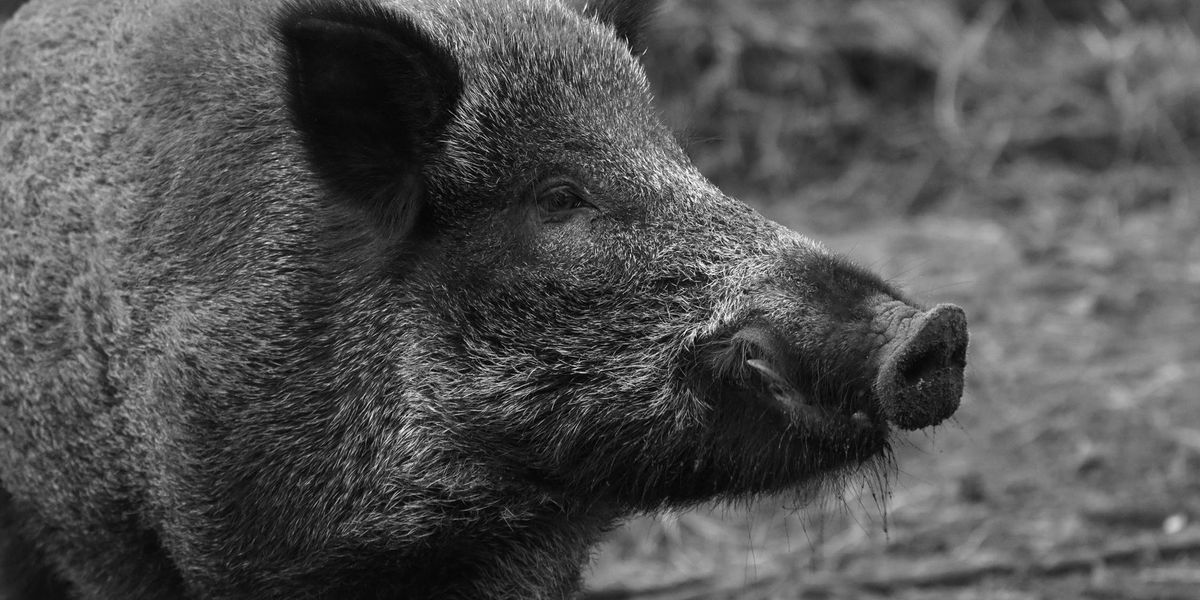 Officials to eradicate feral hogs at Land Between the Lakes