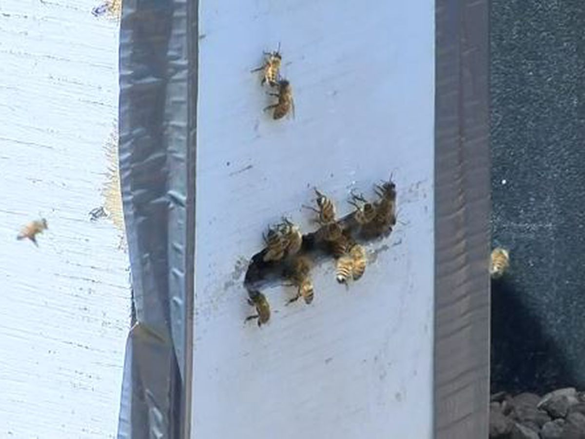 Thousands of bees found in wall in Cape Girardeau home