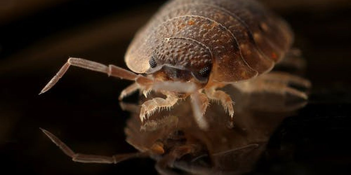 """No outbreak."" One bed bug found at Jonesboro Elementary School"