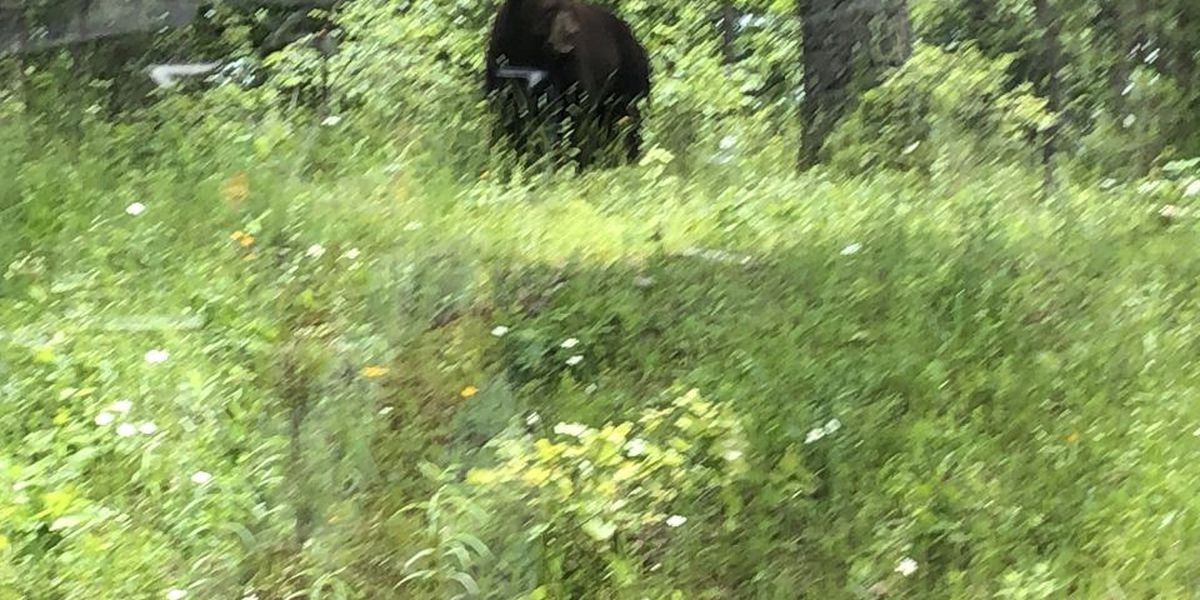 Bear spotted in Carter County, Mo.
