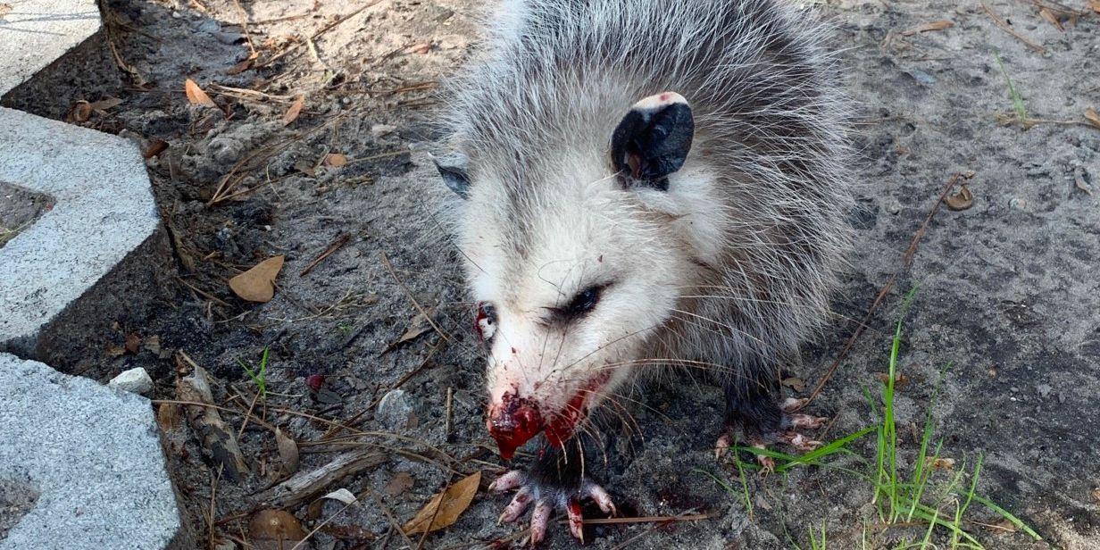 Wildlife organization: Opossum beaten with clubs on Hilton Head Island golf course