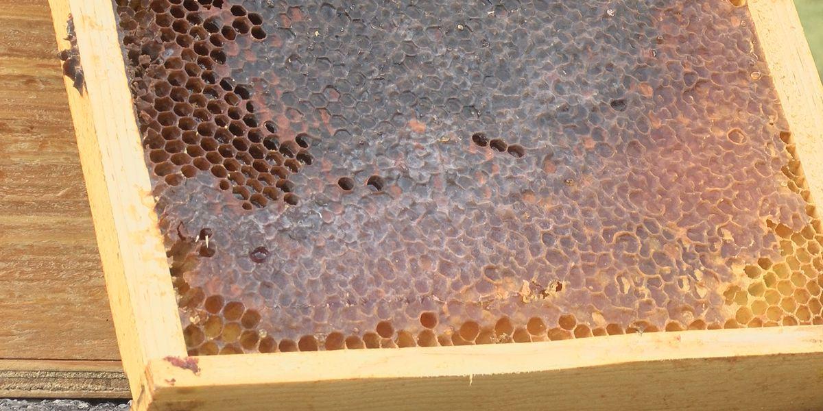 Beekeepers prepare for bee swarming season