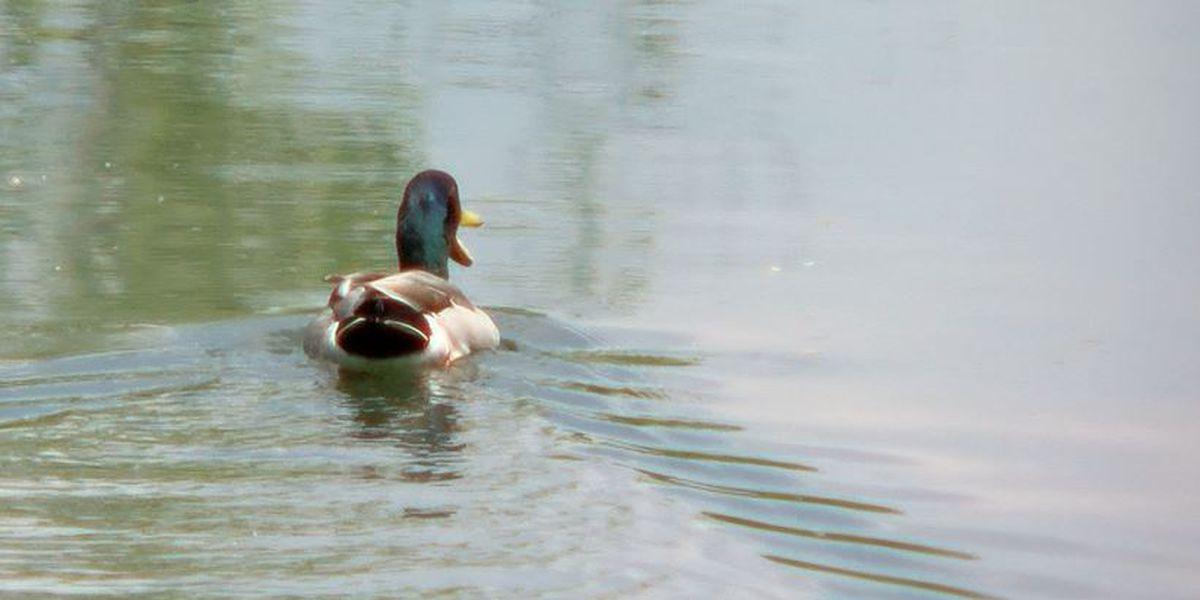 Ducks, videos, parties part of scathing state audit of Fish & Wildlife